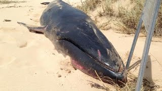Rare Omura's whale washed up on Australian beach could solve creature's mysteries| Breaking News