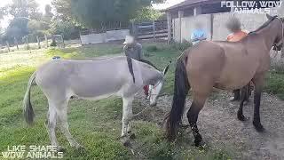 Keledai Kecil Kawin Dengan Kuda Betina Besar