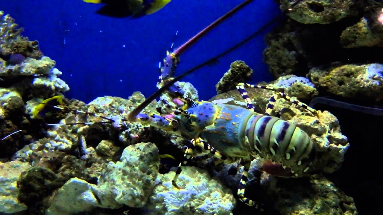 Painted spiny lobster - Panulirus versicolor National Marine Aquarium, Plymouth