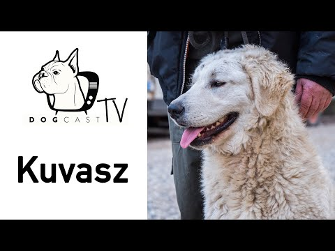 Kuvasz  The tough Hungarian Shepherd breed from the 9th century AD.  DogCastTV S01E08