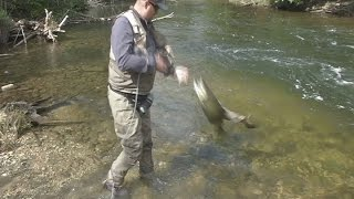 Cold summer may slow down Michigan salmon run