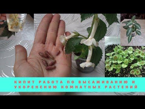 Мои растения в апреле,высадка ризом ахименесов,укоренение черенков,посев семян и выращивание рассады