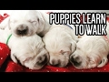 English Cream Golden Retriever Puppies Learning How to Walk