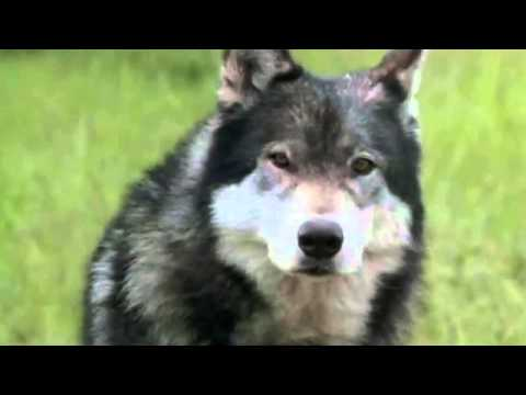 White Fang - GET OUTTA...