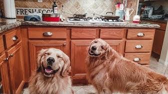 Homemade Meal For Dogs [4K] | Golden Retriever VLOG