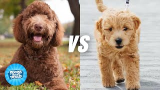Labradoodle VS Goldendoodle Dog Breed Information  Which Dog Is More Intelligent | Dogs 101