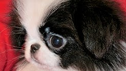 Japanese Chin, Puppies, Dogs, For Sale, In Jacksonville, Florida, FL, 19Breeders, Orlando