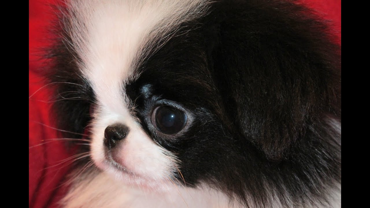 Japanese Chin Puppies Dogs For Sale In Jacksonville