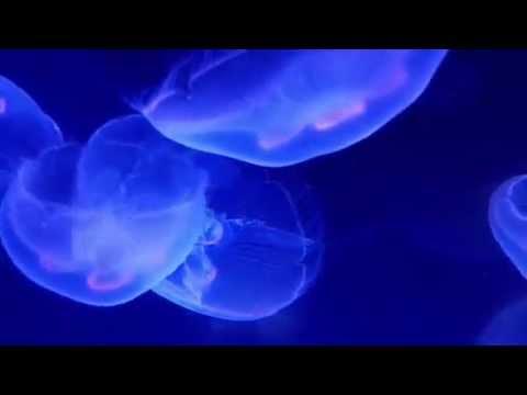 Jellyfish - Santa Barbara - Ty Warner Sea Center