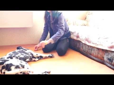 Как научить собаку команде умри в домашних условиях