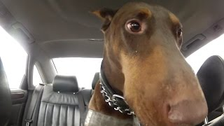 Zeus! The Red Doberman - It's Ruff Being A Dog! @cinema Dog Park