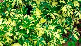 Дачники  Шеффлера или Шефлера Schefflera из семейства Аралиевые Araliaceae  Уход в домашних условиях