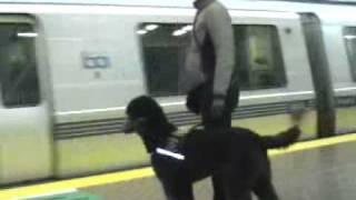 Service Dog In Training Ollivander Rides Bart