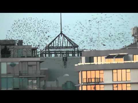 starlings fantastic!