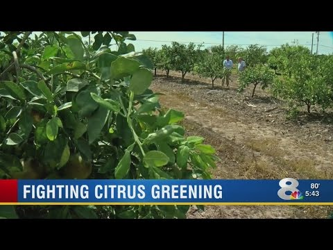 Dept. of Agriculture program helping farmers deal with citrus greening