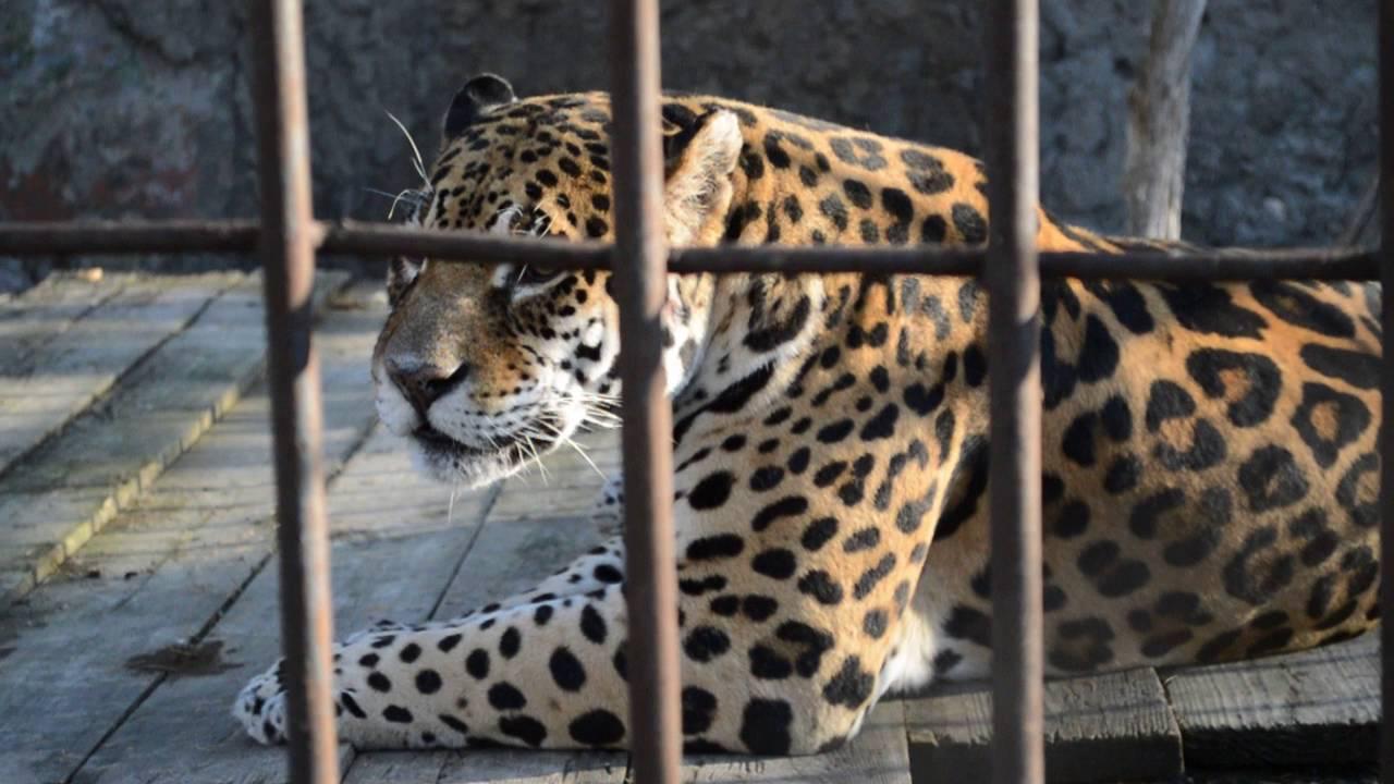 jaguar's roar – рык ягуара _ video-0699 - YouTube