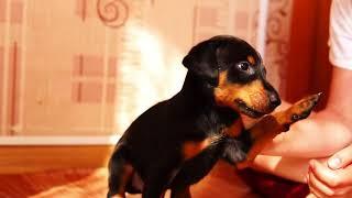 Щенки Добермана. Doberman puppies - May 2018