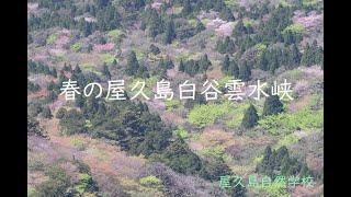 生命が躍動し始める季節。太鼓岩からのカラフルな新緑と淡いヤマザクラを堪能!【屋久島白谷雲水峡】