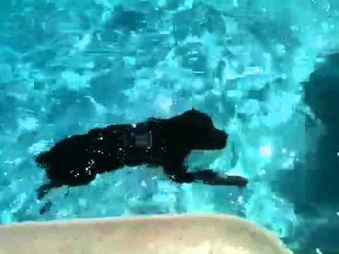 Amazing Rottweiler swimming laps with kids