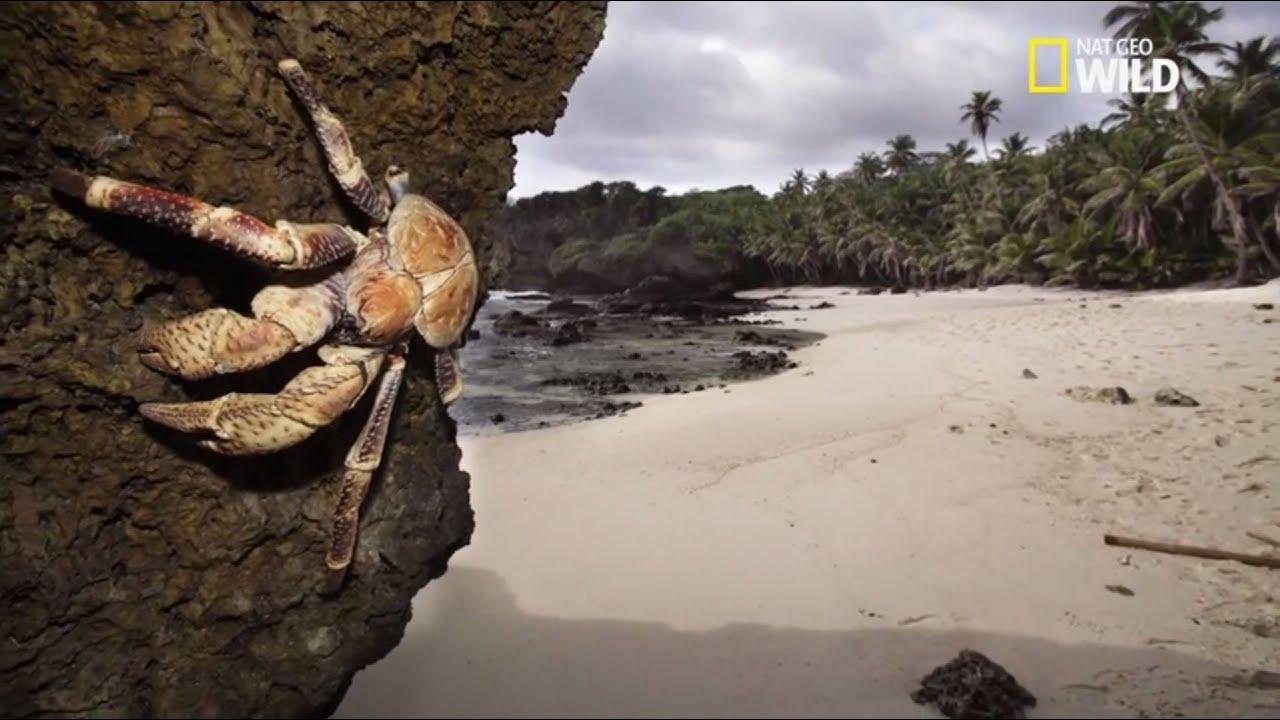 Le Plus Grand Crabe Du Monde Youtube