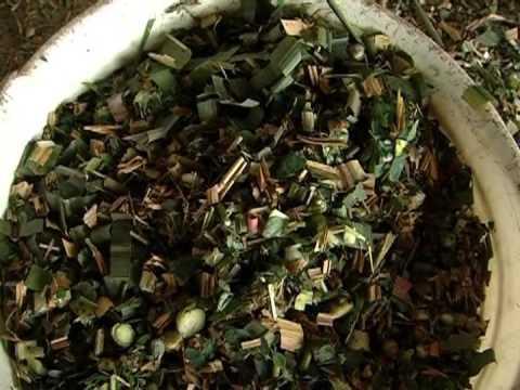 Cómo cultivar Moringa Oleifera - TvAgro por Juan Gonzalo Angel