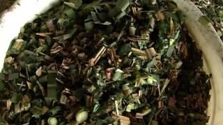 Como cultivar Moringa Oleifera producido por TvAgro - Juan Gonzalo Angel