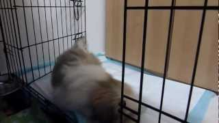 shih tzu first video (Pitusha) toilet training