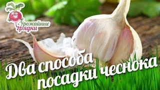 видео Опыт садовода - супер идея посадки чеснока под зиму