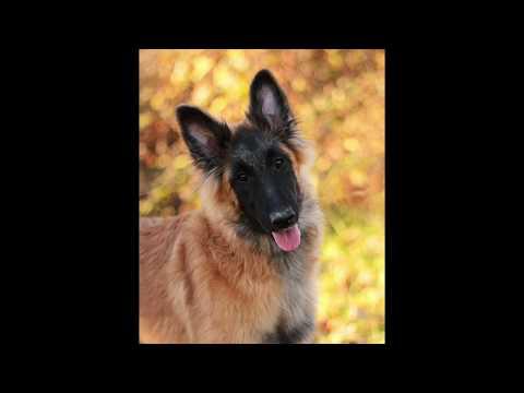 Hear Me Roar - Belgian Shepherd Tervueren puppy