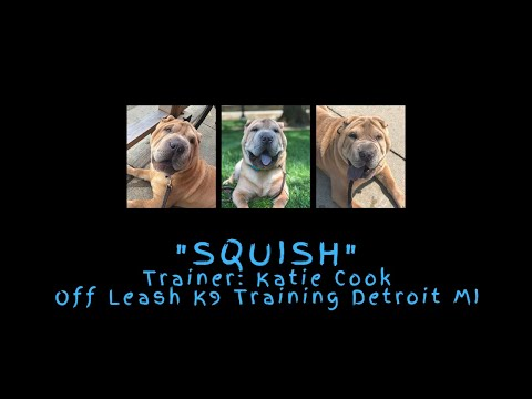 "Sharpei ""Squish"" l Complete Obedience Transformation l Katie Cook OLK9 Detroit"