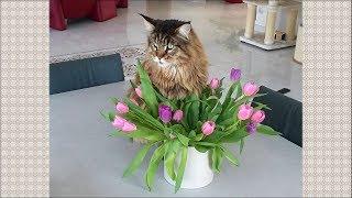 Мейн Кун Вилли, любитель цветов
