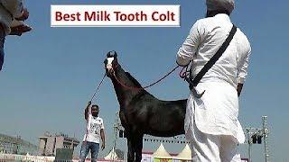 सर्वश्रेष्ठ मारवाड़ी घोड़ा बछेरा। Stud Glory : Best Indian Marwari Colt : Horse Show In Ahmedabad