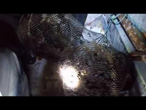 На Лисянщині браконьєри ловлять раків на мертвих тварин (Відео)