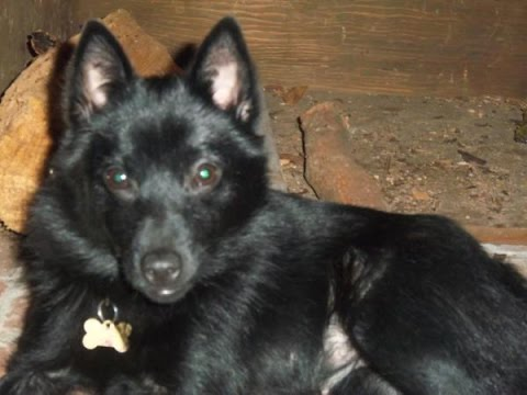 Schipperke - Dog Breed
