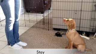 Vizsla puppy Tricks & Dog training 10 wks old