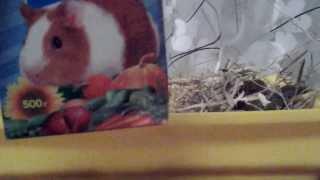 Морские свинки уход и содержание за ними :)(Привет всем это Катя в этом видео я расскажу вам как ухаживать, убирать и чем кормить морских свинок ), 2014-02-06T16:24:57.000Z)
