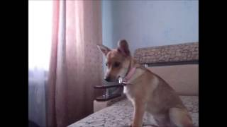 Кусачая собака...mp4