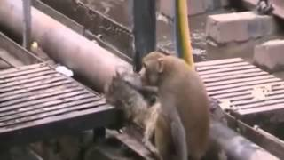 Monkey saves another Monkey after a severe electric shock in india