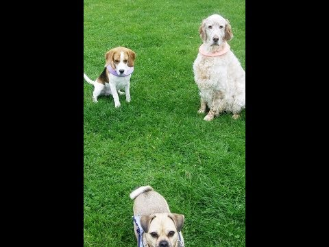 Bridie, Henry, Otis & Peppa; Chug, Beagle, English Setter & Bichon.