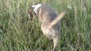 Bull Terrier Trust Wiggle Star Dans La Nature