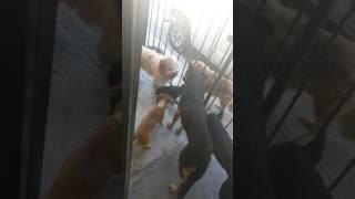 Perros Tras Pequeña Muy Pequeña Perrita