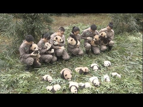 36 panda cubs make their public debut in SW China