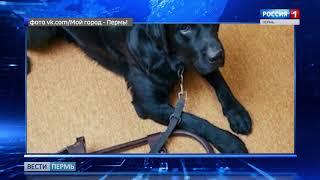 В Перми кондуктор автобуса потребовала с инвалида плату за собаку-поводыря