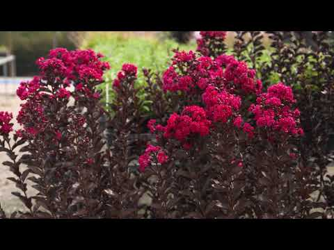 The Garden Gurus Diamonds In Dark Crepe Myrtles You