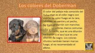 Doberman  Cachorros, Colores Del Doberman