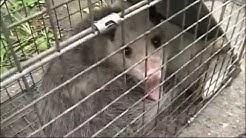 Squirrel and Possum Catch & release Hamilton Ohio