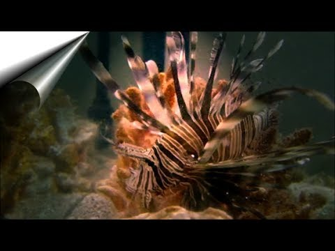 7rmTRAVELS - Red Sea Beach Fun With Lionfish - 10th June 2017