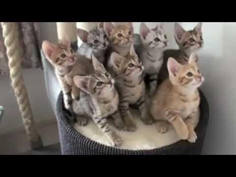 Cute Cats Dance On Prem Ratan Dhan Payo...