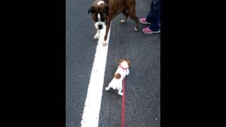 散歩中にボクサー犬に出会いました。