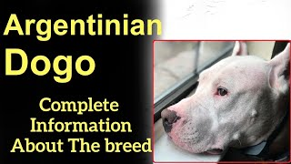 Argentinian Dogo. Pros and Cons, Price, How to choose, Facts, Care, History